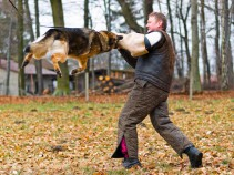"""Bei dieser Ausbildung steht nicht das """"Zubeißen"""" im Vordergrund, sondern das Beherrschen des Hundes (der Gehorsam) unter schwierigen Bedingungen. In heiklen Alltagssituationen kann ein Halter auf einen im Schutzdienst ausgebildeten Hund besser und kontrollierter einwirken und so Unfälle vermeiden."""